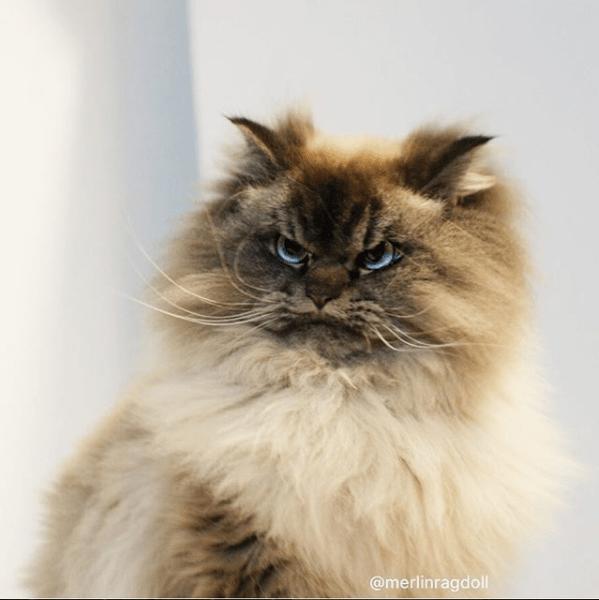 Cat - @merlinragdoll