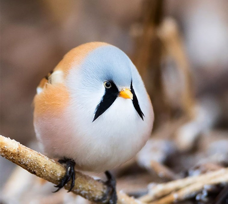 very round - Bird