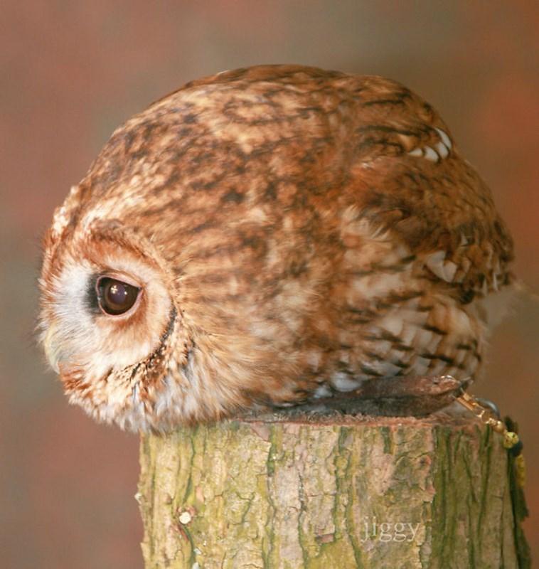 very round - Owl - lgey