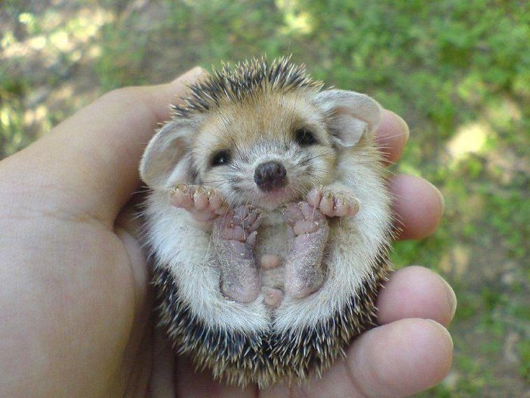 very round - Hedgehog