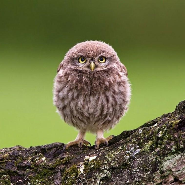 very round - Owl