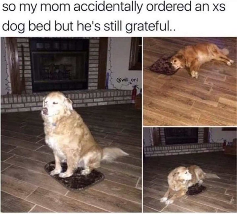 dog memes golden retriever sitting on dog bed too small for it - So my mom accidentally ordered an xs dog bed but he's still grateful.. @will ent