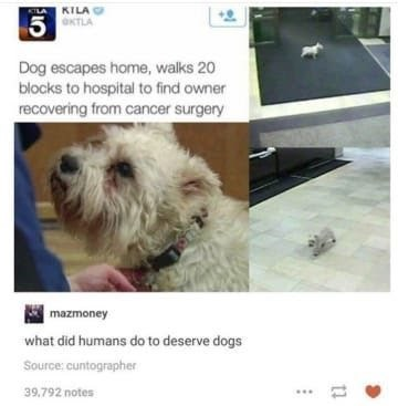 dog memes dog escapes home walks 20 blocks to hospital to find owner recovering from cancer surgery white dog