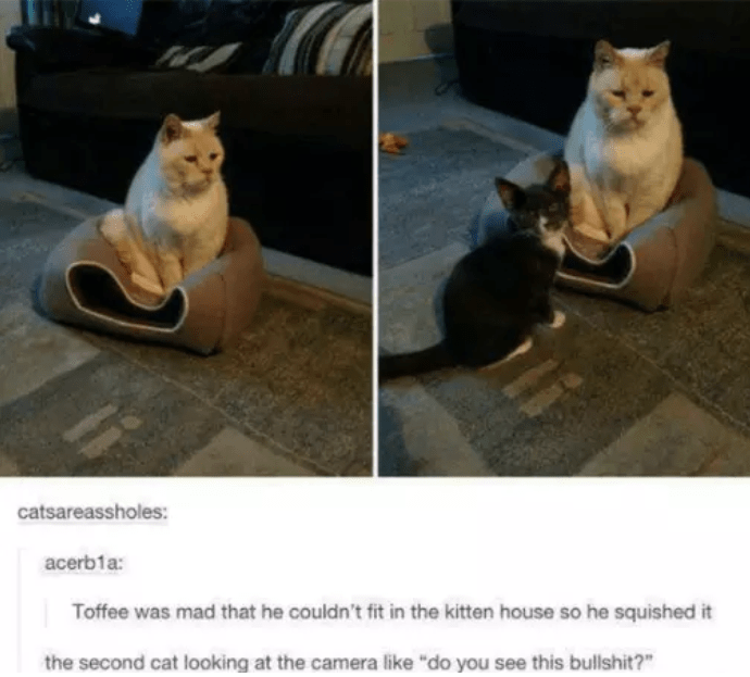 """Cat - catsareassholes: acerb1a: Toffee was mad that he couldn't fit in the kitten house so he squished it the second cat looking at the camera like """"do you see this bullshit?"""""""