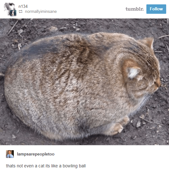 Cat - n134 tumblr.Follow normallyiminsane lampsarepeopletoo thats not even a cat its like a bowling ball