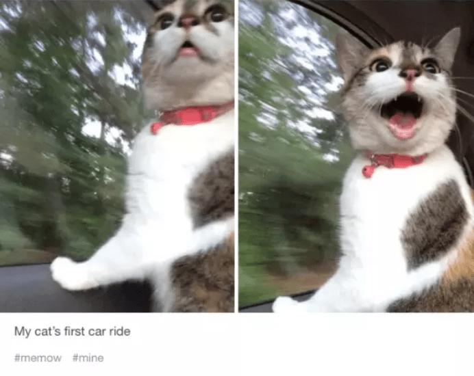 Cat - My cat's first car ride #memow #mine