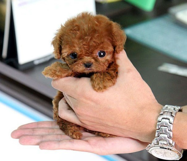 tiny puppy in a persons hand