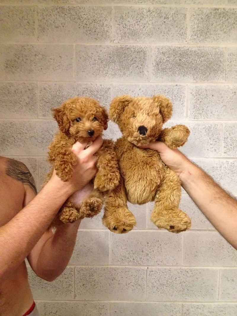 Teddy bear compared to puppy