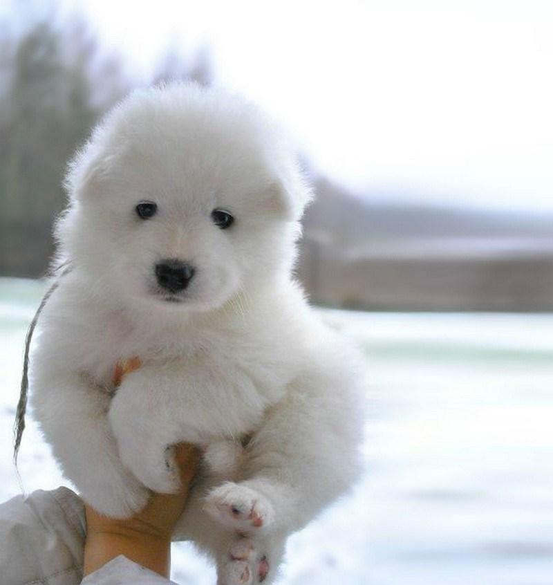 white puppy looks like a toy samoyed