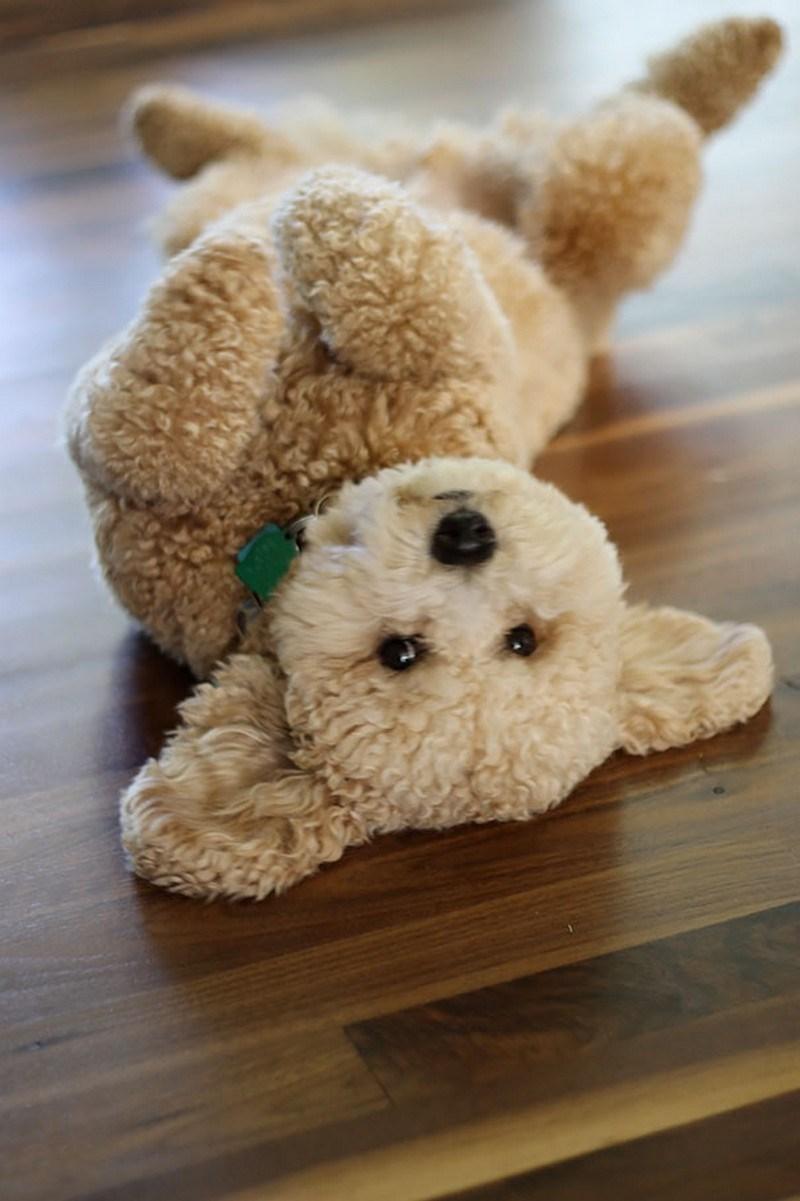 dog looks like a stuffed animal