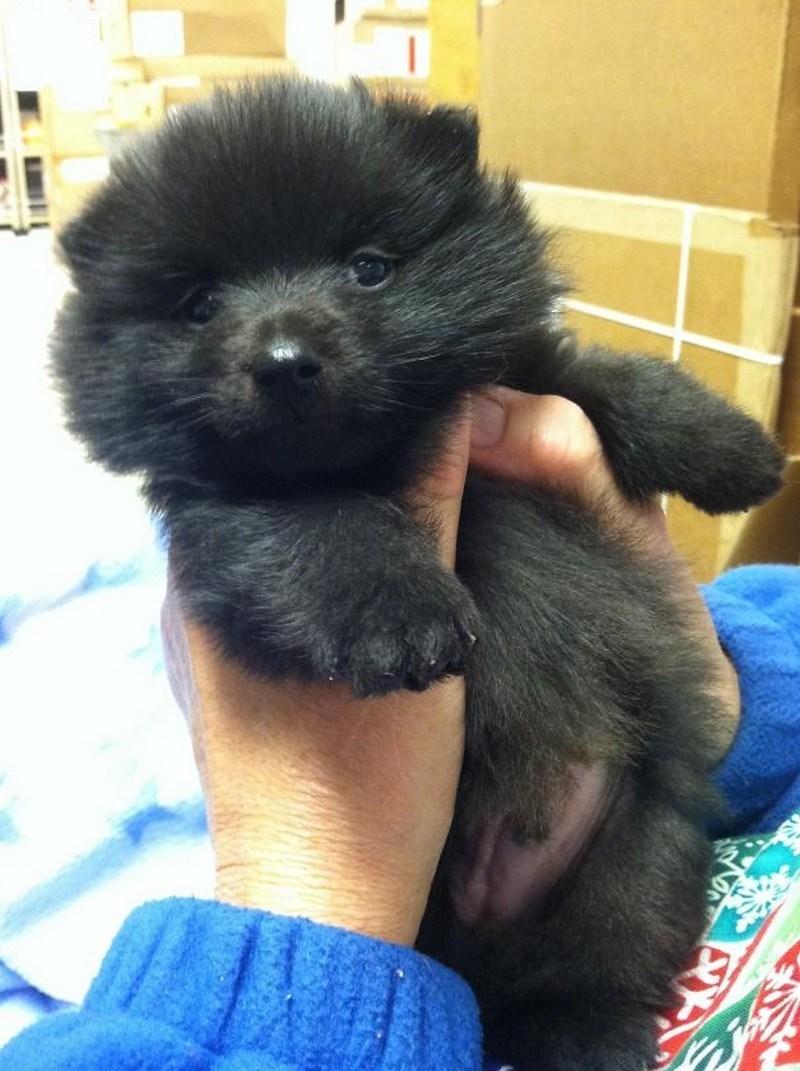puppy Pomeranian black furry