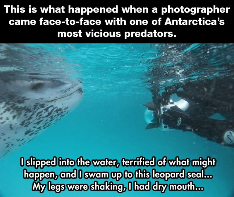 Whale shark - This is what happened when a photographer came face-to-face with one of Antarctica's most vicious predators. Oslipped into the water, terrified of what might happen, and I swam up to this leopard seal.. My legs were shaking, 0 had dry mouth...