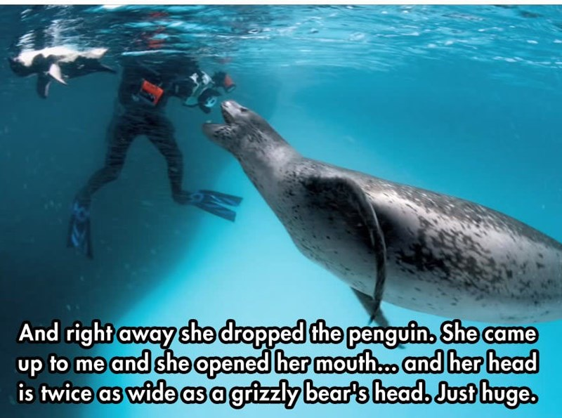 Marine mammal - And right away she drapped the penguin, She came up to me and she apened her mouth.. and her head is twice as wide asa grizzly bear's head, Just huge,