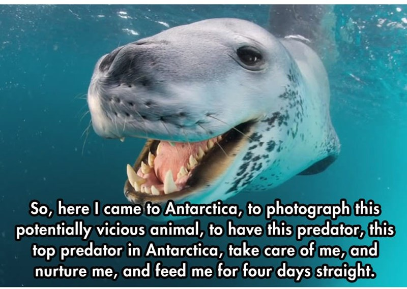 Vertebrate - So, here I came to Antarctica, to photograph this potentially vicious animal, to have this predator, this top predator in Antarctica, take care of me, and nurture me, and feed me for four days straight.