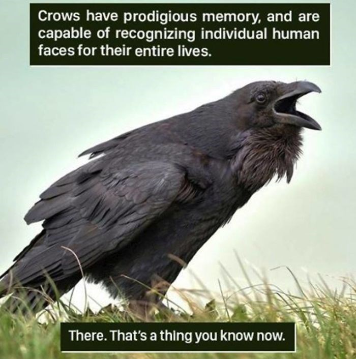 Bird - Crows have prodigious memory, and are capable of recognizing individual human faces for their entire lives. There. That's a thing you know now.