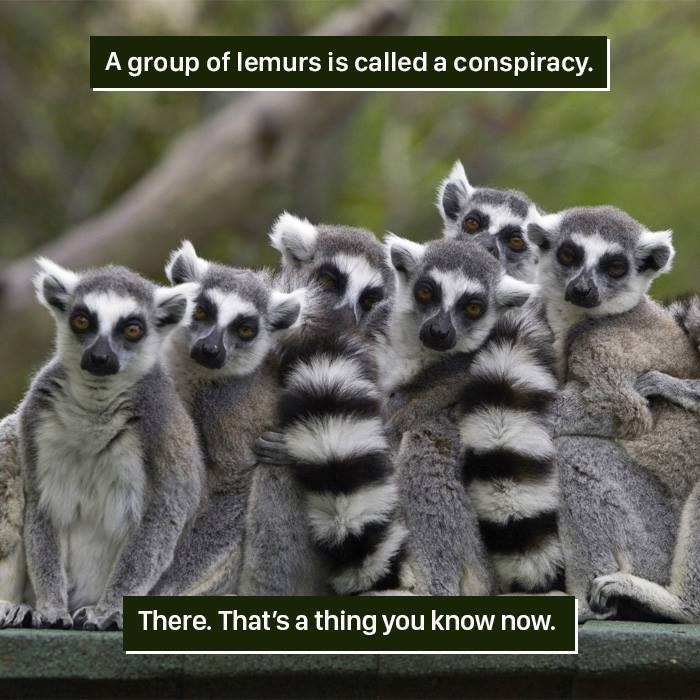 Lemur - A group of lemurs is called a conspiracy. There. That's a thing you know now.