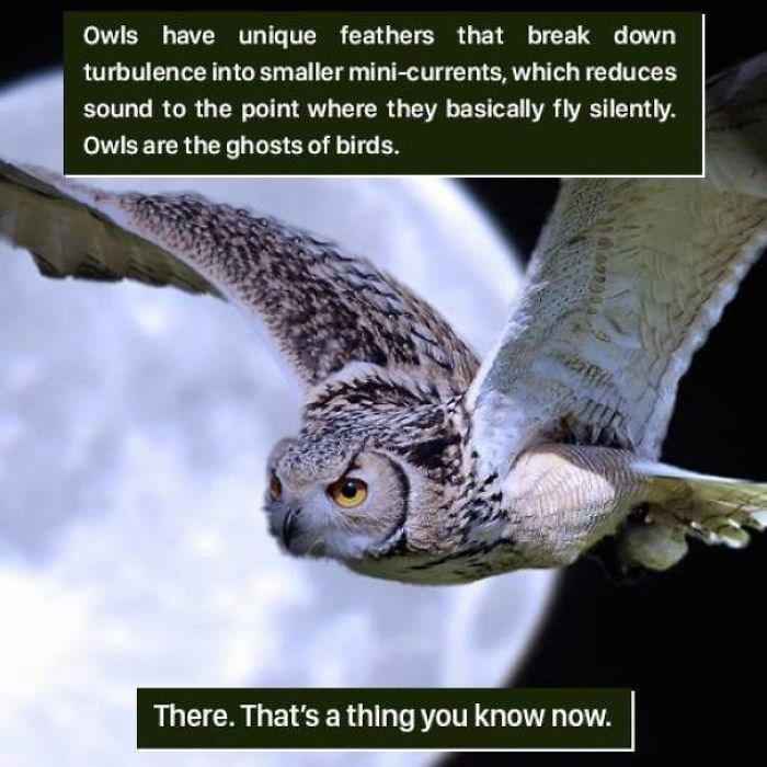 Bird - Owls have unique feathers that break down turbulence into smaller mini-currents, which reduces sound to the point where they basically fly silently. Owls are the ghosts of birds. There. That's a thing you know now.