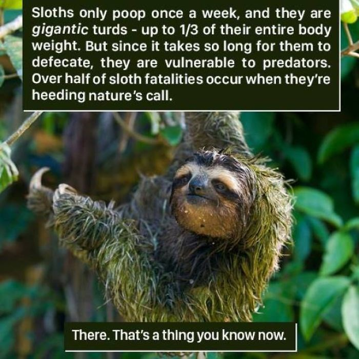 Three-toed sloth - Sloths only poop once a week, and they are gigantic turds up to 1/3 of their entire body weight. But since it takes so long for them to defecate, they are vulnerable to predators. Over half of sloth fatalities occur when they're heeding nature's call. There. That's a thing you know now.