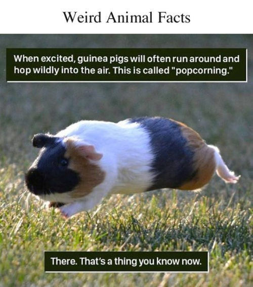 """Guinea pig - Weird Animal Facts When excited, guinea pigs will often run around and hop wildly into the air. This is called """"popcorning."""" There. That's a thing you know now."""