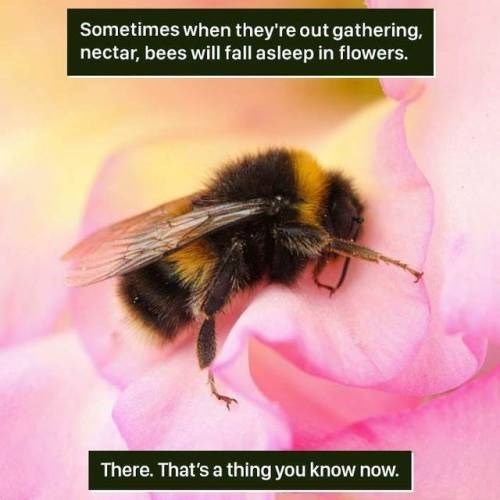 Bee - Sometimes when they're out gathering, nectar, bees will fall asleep in flowers. There. That's a thing you know now.