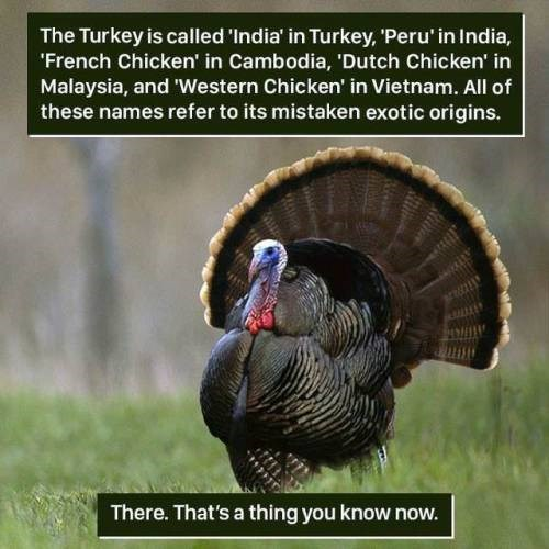 Wild turkey - The Turkey is called 'India' in Turkey, 'Peru' in India, French Chicken' in Cambodia, 'Dutch Chicken' in Malaysia, and 'Western Chicken' in Vietnam. All of these names refer to its mistaken exotic origins. There. That's a thing you know now.