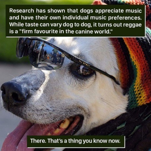"""Dog - Research has shown that dogs appreciate music and have their own individual music preferences. While taste can vary dog to dog, it turns out reggae is a """"firm favourite in the canine world."""" MJ SPORT There. That's a thing you know now."""
