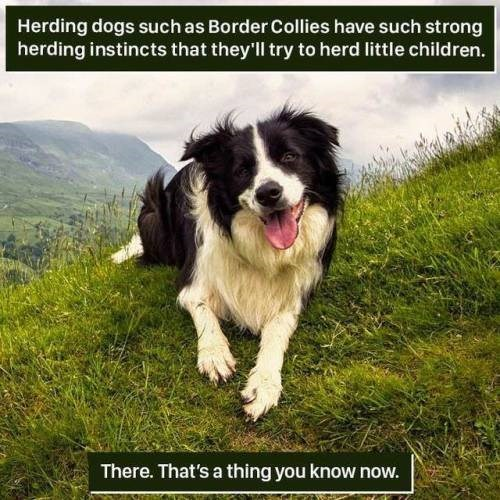 Dog - Herding dogs such as Border Collies have such strong herding instincts that they'll try to herd little children. There. That's a thing you know now.
