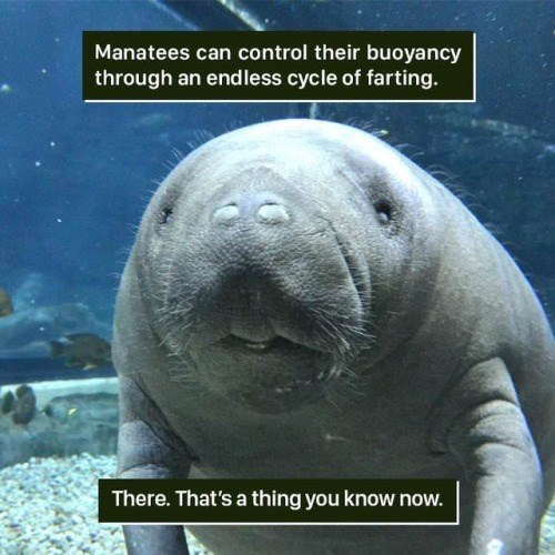Vertebrate - Manatees can control their buoyancy through an endless cycle of farting. There. That's a thing you know now.