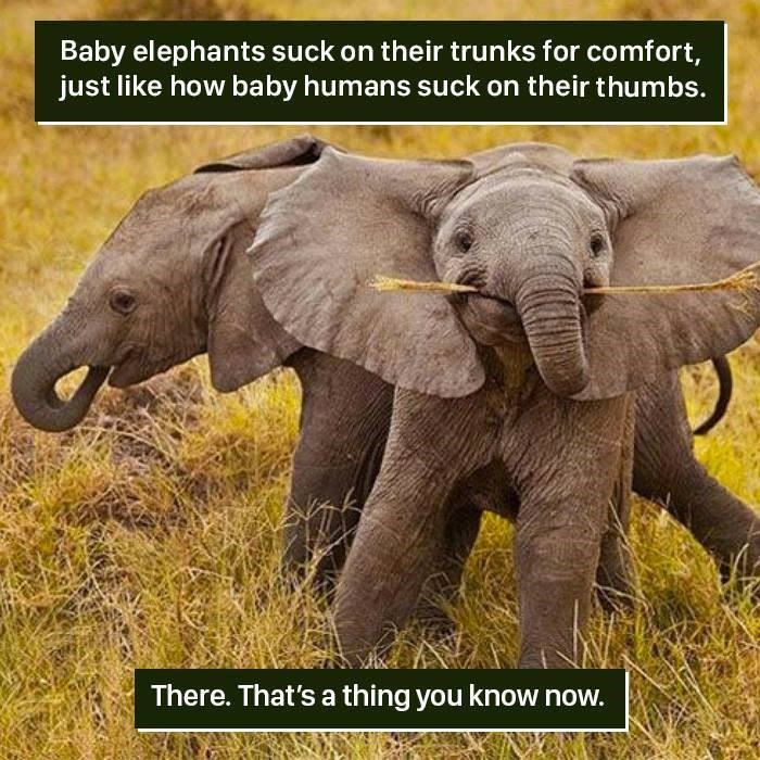 Elephant - Baby elephants suck on their trunks for comfort, just like how baby humans suck on their thumbs. There. That's a thing you know now.