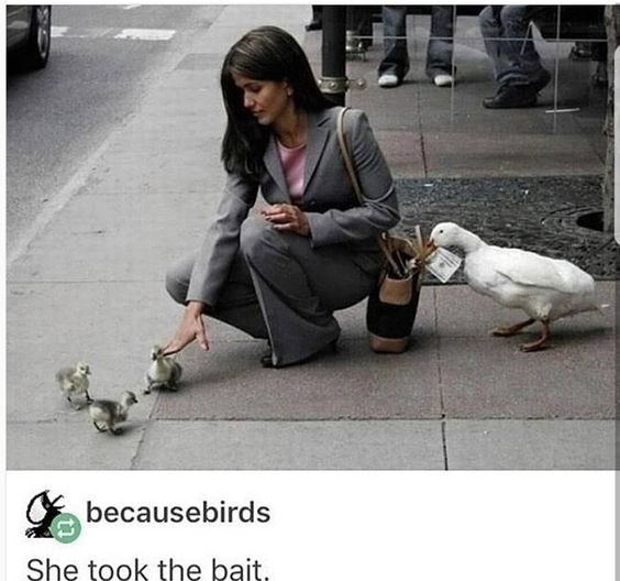 meme - Duck - becausebirds She took the bait.