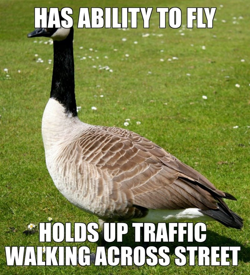 meme - Bird - HAS ABILITY TO FLY HOLDS UP TRAFFIC WALKING ACROSS STREET