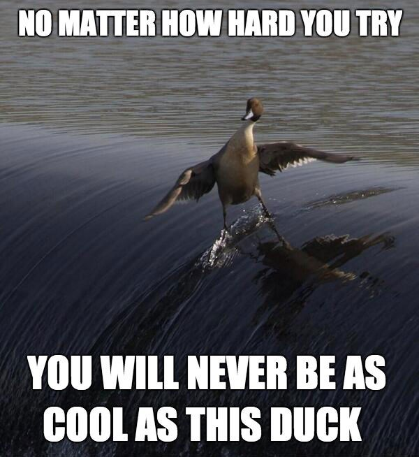 meme - Bird - NO MATTER HOW HARD YOU TRY YOU WILL NEVER BE AS COOL AS THIS DUCK