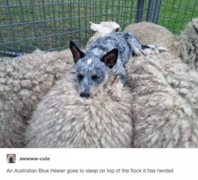Vertebrate - awwww.cute An Australian Blue Heeler goes to sleep on top of the flock it has herded
