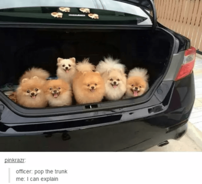Pomeranian - pinkrazr officer: pop the trunk me: I can explain