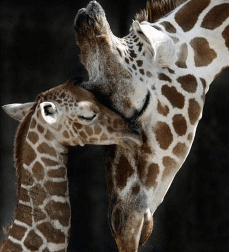 animals cuddling - Giraffe