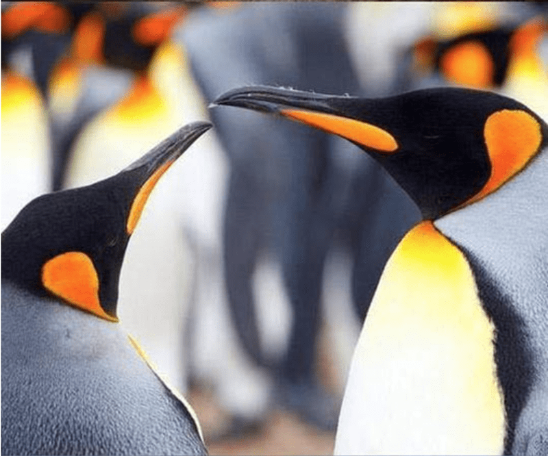 animals cuddling - King penguin