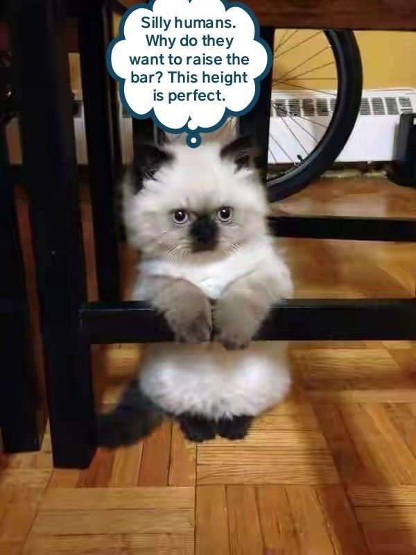 Cat - Silly humans. Why do they want to raise the bar? This height is perfect.