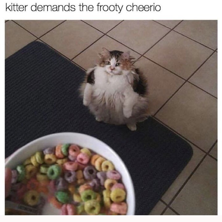 pic of chubby cat standing on its hind legs looking up at a bowl of fruit loop cereal