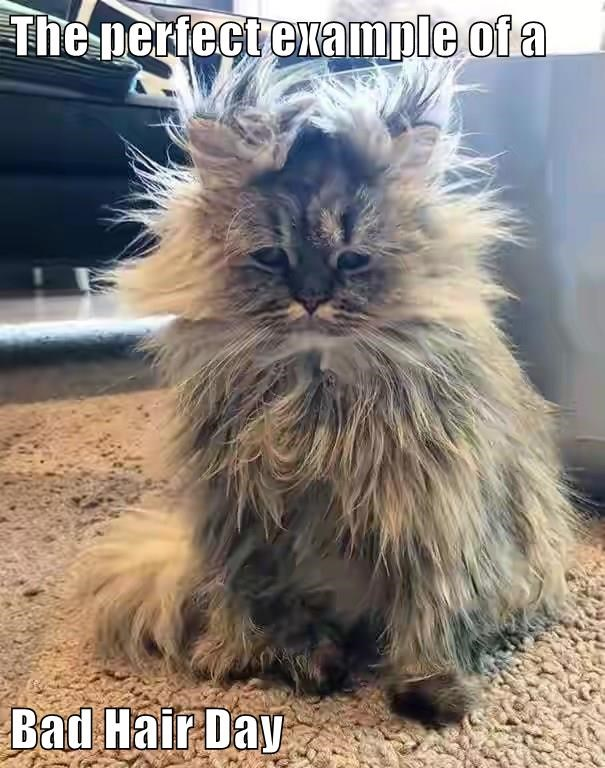 The Perfect Example Of A Bad Hair Day Lolcats Lol Cat Memes