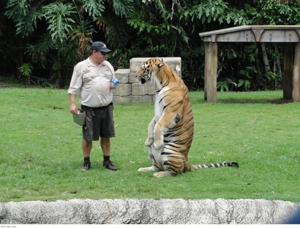 standing up - Tiger