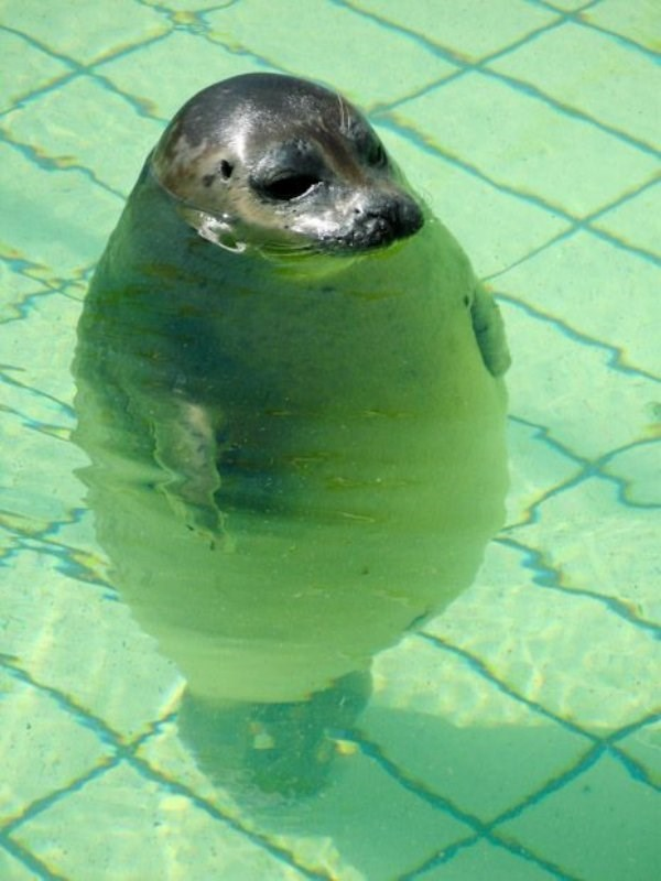 standing up - Harbor seal