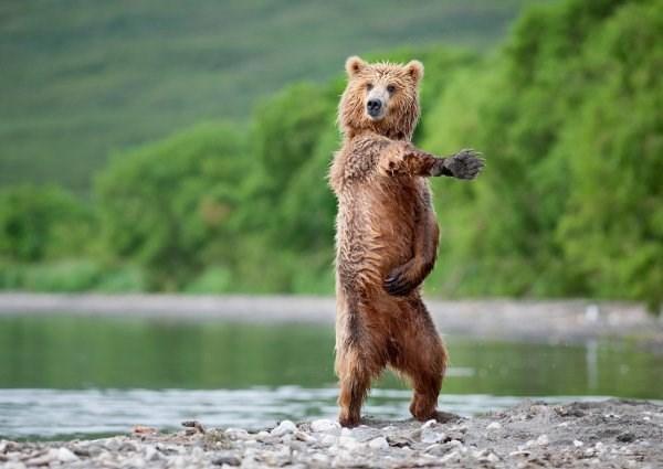 standing up - Brown bear
