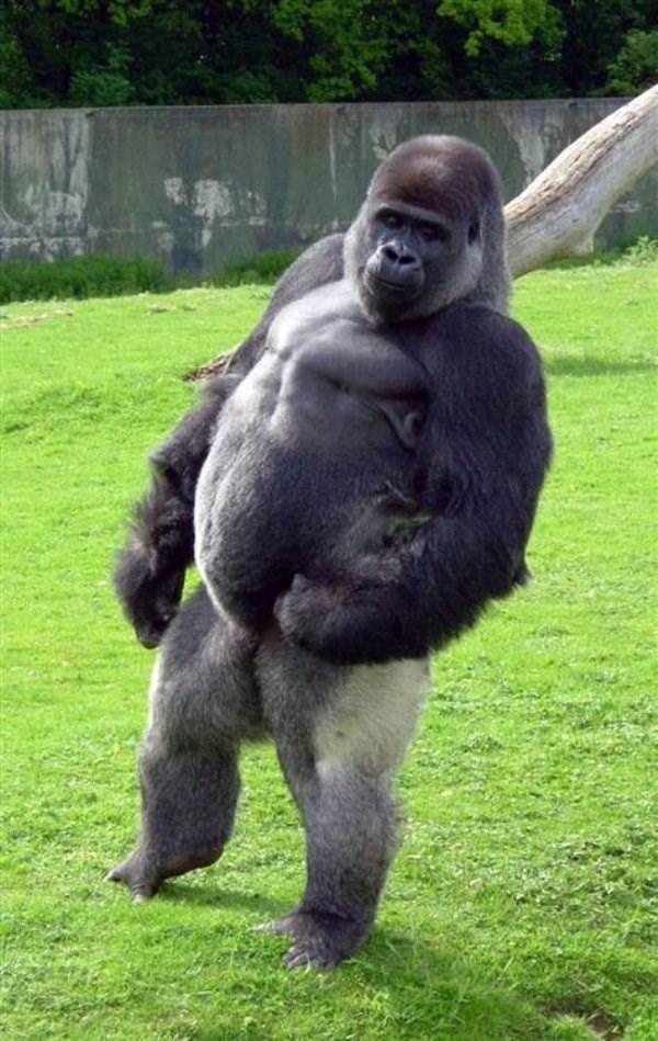standing up - Mammal gorilla