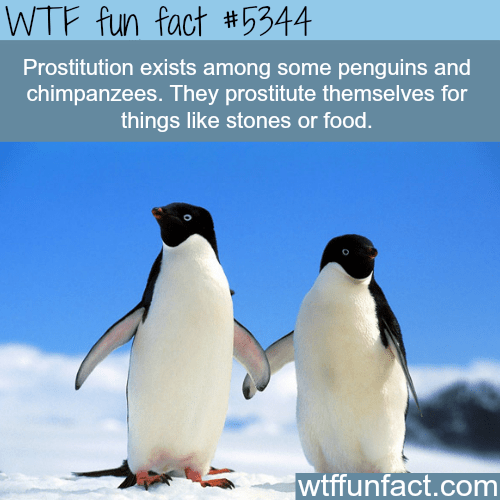 Penguin - WTF fun fact #5344 Prostitution exists among some penguins and chimpanzees. They prostitute themselves for things like stones or food. wtffunfact.com