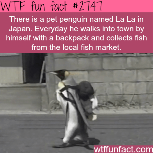 Text - WTF fun fact #2141 There is a pet penguin named La La in Japan. Everyday he walks into town by himself with a backpack and collects fish from the local fish market. wtffunfact.com