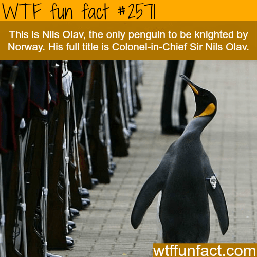 King penguin - WTF fun fact #251 This is Nils Olav, the only penguin to be knighted by Norway. His full title is Colonel-in-Chief Sir Nils Olav. wtffunfact.com