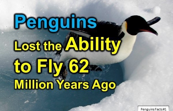Bird - Penguins Lost the Ability to Fly 62 Million Years Ago Penguins Facts # 1