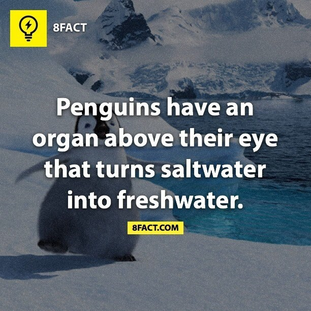 Text - 8FACT Penguins have an organ above their eye that turns saltwater into freshwater. 8FACT.COM