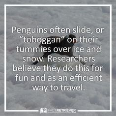 """Text - Penguins often slide, or """"toboggan"""" on their tummies over ice and snow. Researchers believe they do this for fun and as an efficient way to travel. 9EACTRETRIEVER"""