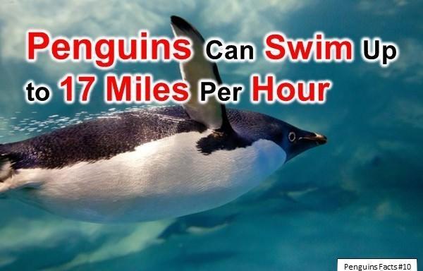 Vertebrate - Penguins Can Swim up to 17 Miles Per Hour Penguins Facts # 10